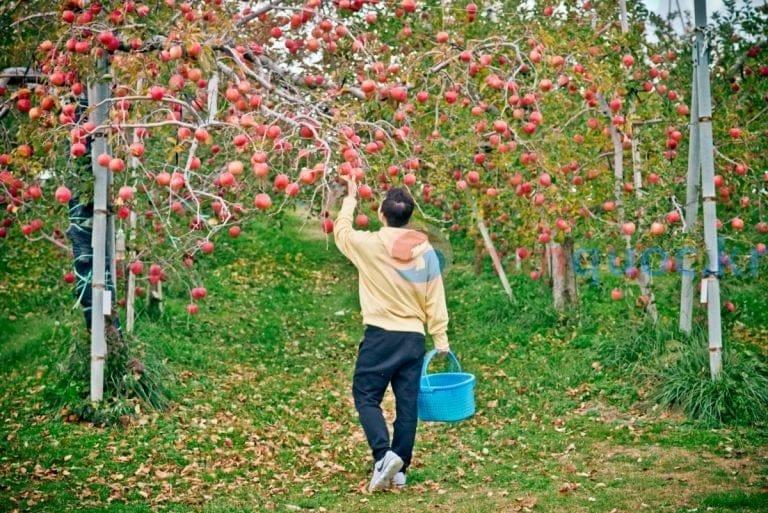 Hai địa chỉ hái táo mùa thu ở Hàn Quốc